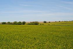 wheat_1776621.JPG