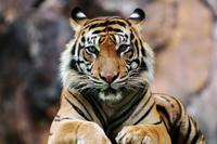02CAI@HMay21_Tiger_1920774.jpg